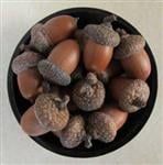 New England Acorns